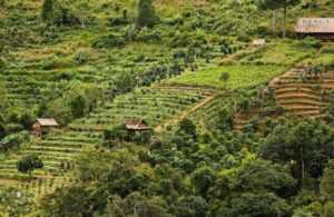 Кофейные плантации в Далате