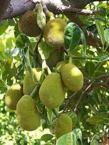 Джекфрут (индийское хлебное дерево)