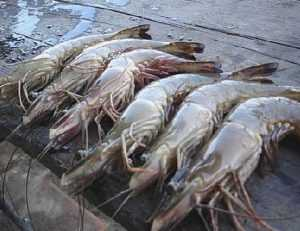 Трудности с экспортом креветок из Вьетнама