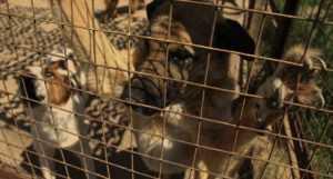 Проблемы с бешенством собак во Вьетнаме