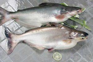 Увеличение экспорта пангасиуса из Вьетнама