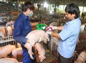 Меры по борьбе с африканской чумой свиней во Вьетнаме