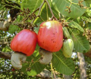 Новые способы выращивания кешью в Binh Phuoc