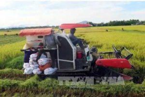 Технология выращивания риса во Вьетнаме требует улучшения