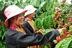 Вьетнамцы собирают кофе