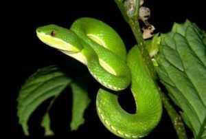 Эта ядовитая змея широко использовалась вьетнамцами в ловушках