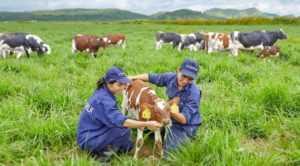 В Дананге собираются построить молочную ферму