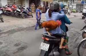 Во Вьетнаме петух ездит на мопеде с хозяевами