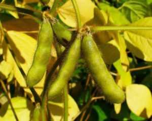 Вьетнам увеличивает объемы переработки сои