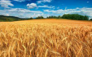 Экспорт украинской пшеницы во Вьетнам возобновится
