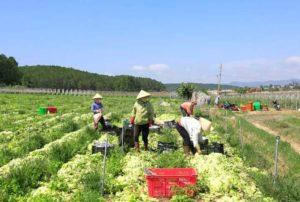 Развитие обработки овощей в провинции Тайнинь
