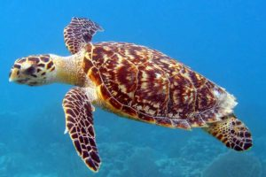Охрана черепах на архипелаге Con Dao