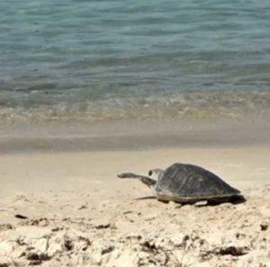 Спасённая морская черепаха была возвращена в море