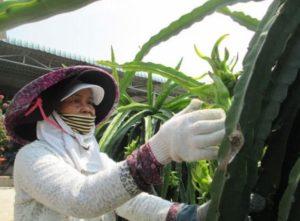 Сельскохозяйственные предприятия Вьетнама занялись выращиванием собственного сырья