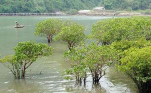 В провинции Кьензянг усиливают защиту мангровых лесов